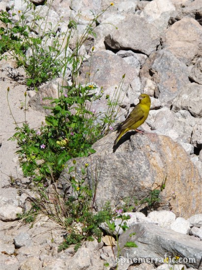 Yellow songbird, Colca Canyon, Peru photo