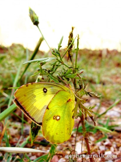 Yellow butterfly, Colca Canyon, Peru photo