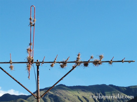 Air plants cling to an antenna, Sacred Valley, Peru photo