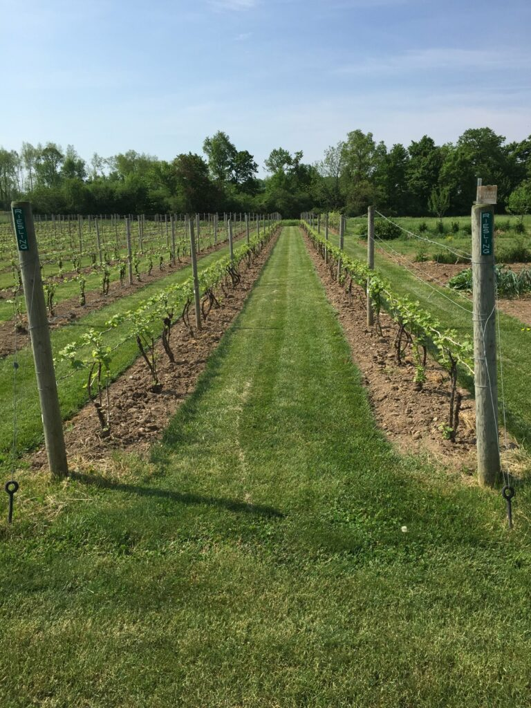 Rows of new Riesling plantings in the Spring