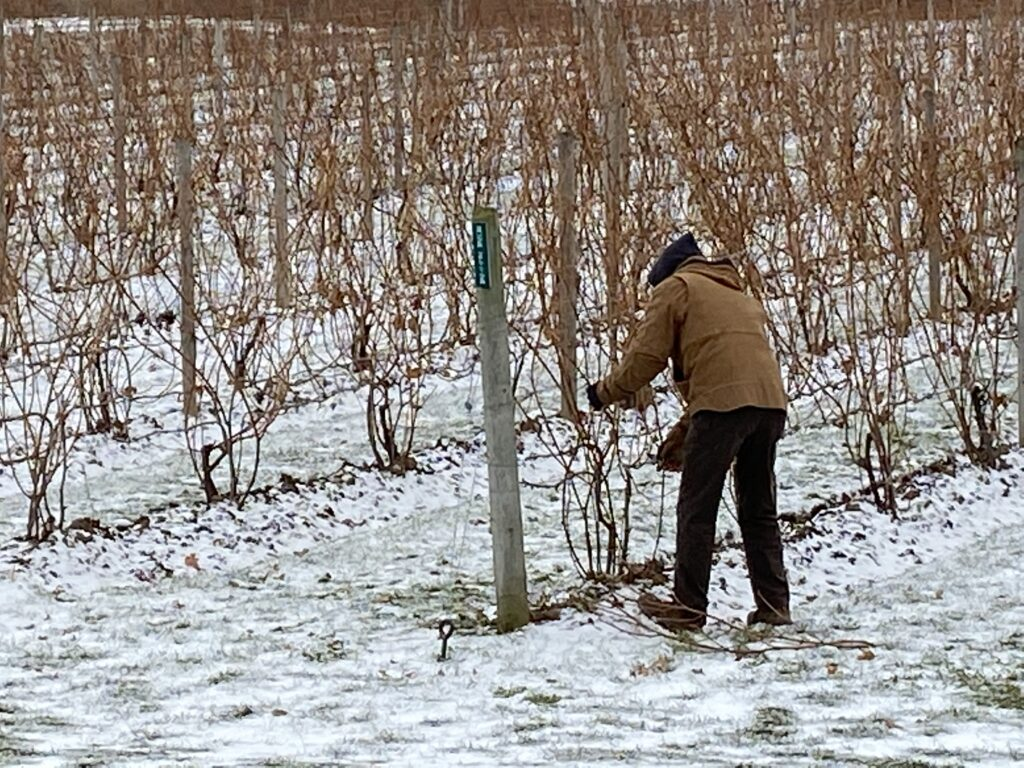 A person in warm clothing pruning vines while the ground in covered in snow