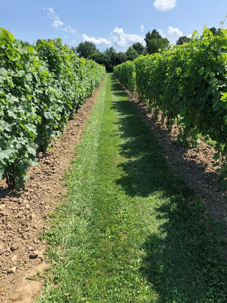 Looking down Vineyard row between two lush rows of vines