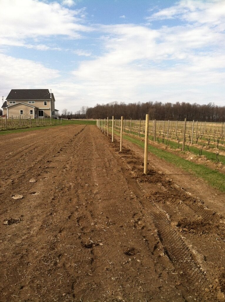 A freshly planted vineyard with newly buried poles and fresh vines