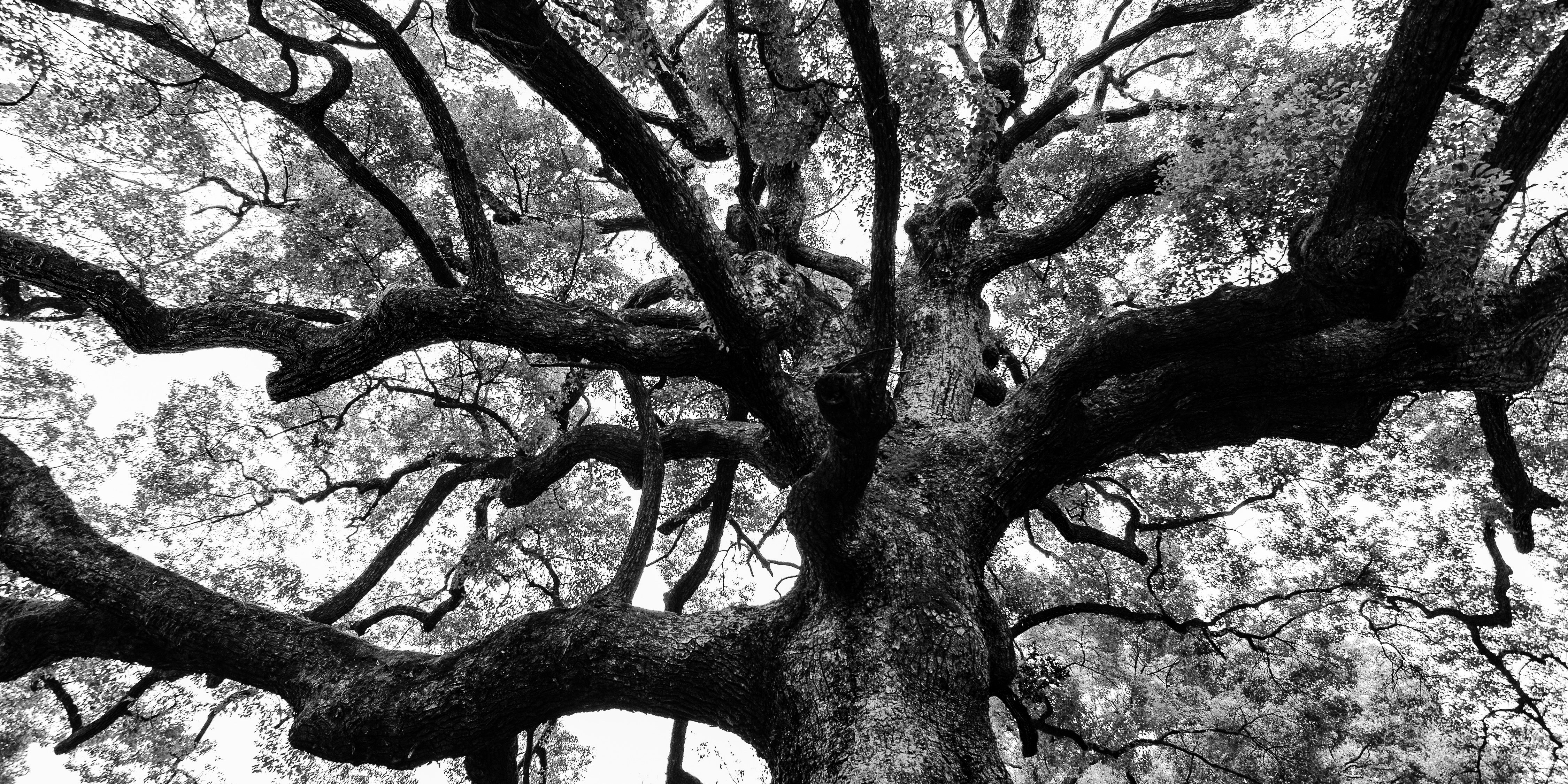 Black and white nature photo of a very old oak tree with long branches and sturdy roots.