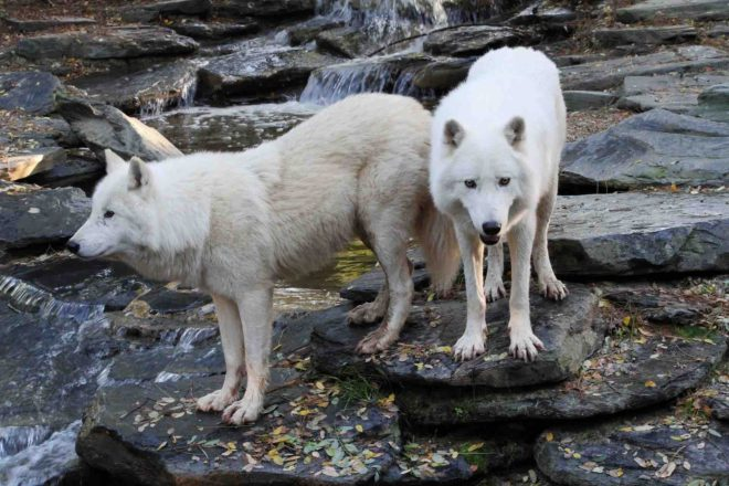 Two white wolves ancestral link with dogs