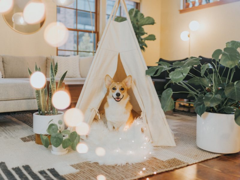 Corgi dog in teepee fort