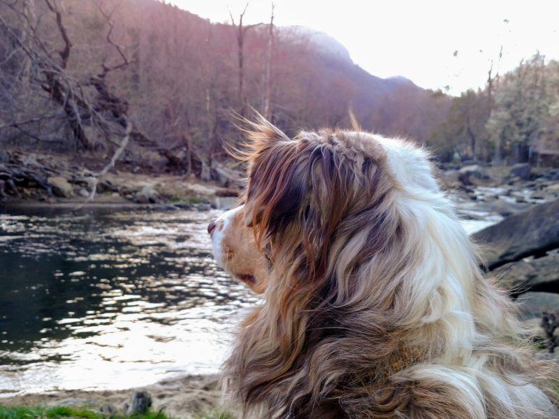 Dog watching sunset on river