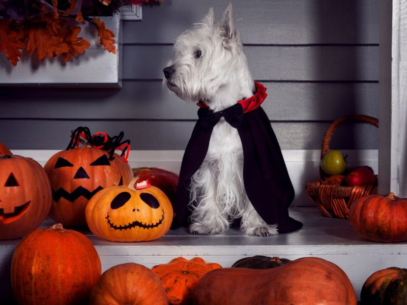 Dog in vampire costume for halloween