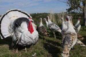 Joe enjoys spending his free time raising a variety of critters, including these heritage turkeys