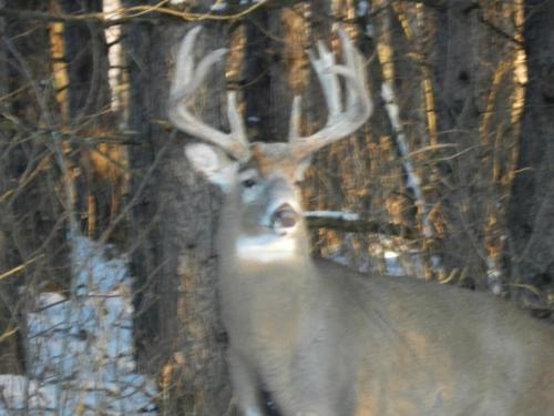 Whimsical Whitetails Buck