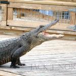 Captive American Alligator by JT