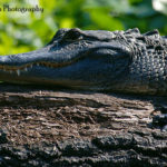 Wild American Alligator by JT