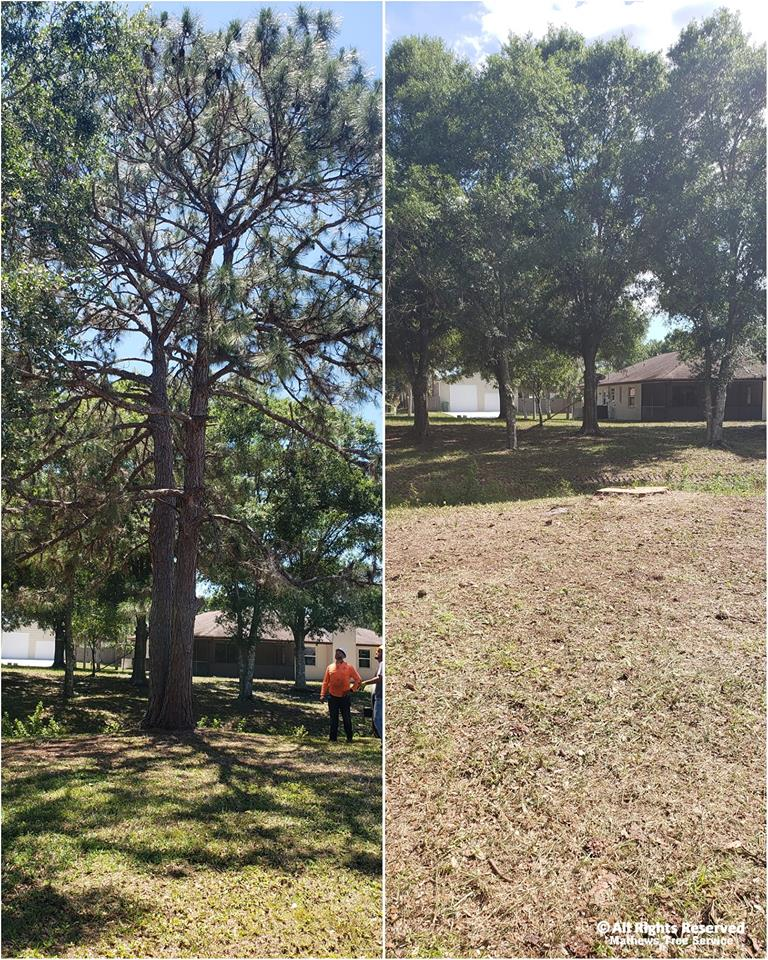 Forked Pine before and after