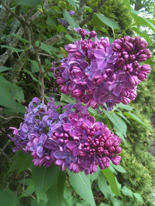 Purple lilacs - May in New Hampshire