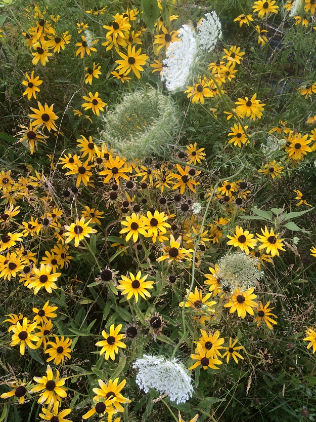 late summer blooms - queen anne's lace and black-eyed susans