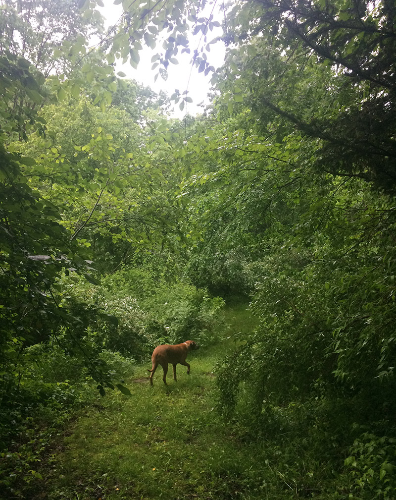 A dog in the New Hampshire woods