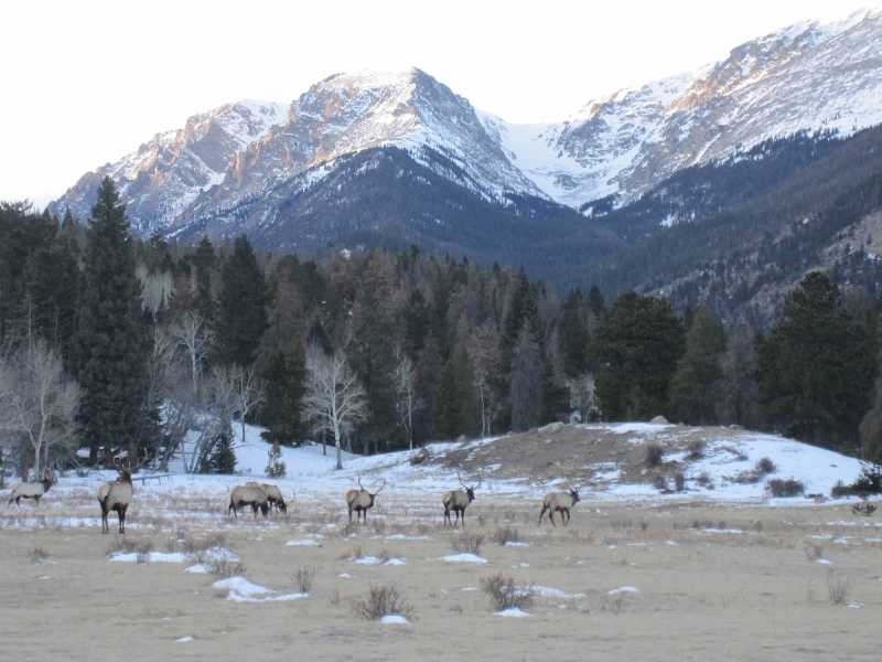 elk-in-rocky-mountain-national-park-january-2012