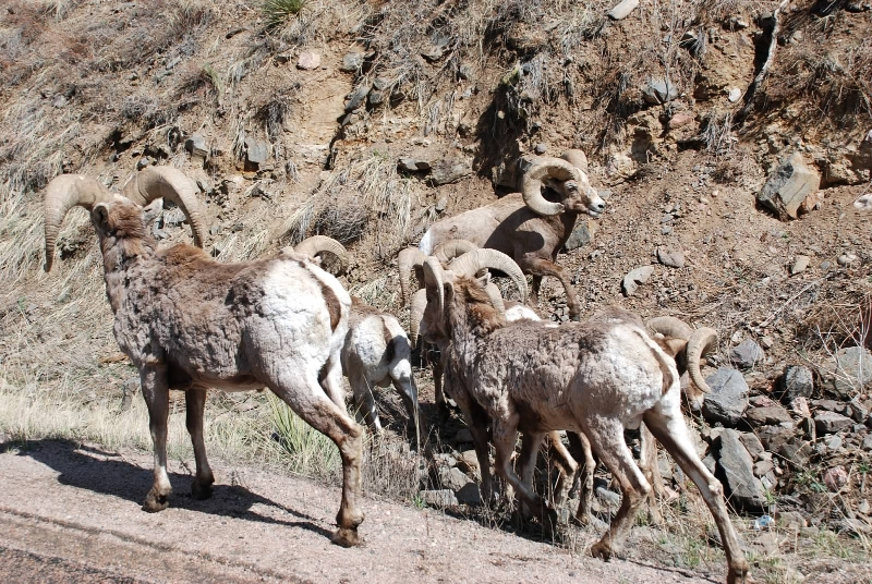 rams-in-thompson-canyon-along-highway-34-to-estes-park
