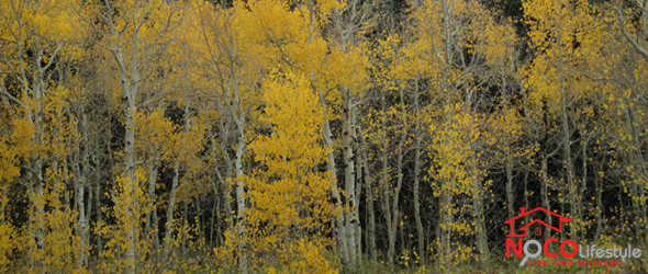 Aspens and Fall Colors of Rocky Mountain National Park