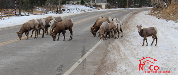 Rams on Highway 34