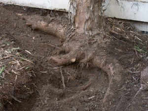 Foundation damage caused by tree roots