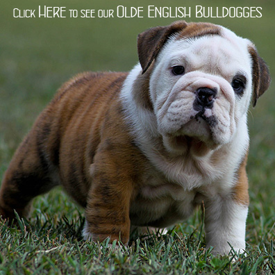 Mallard Point Bulldogs – English Bulldogs, French Bulldogs, Olde