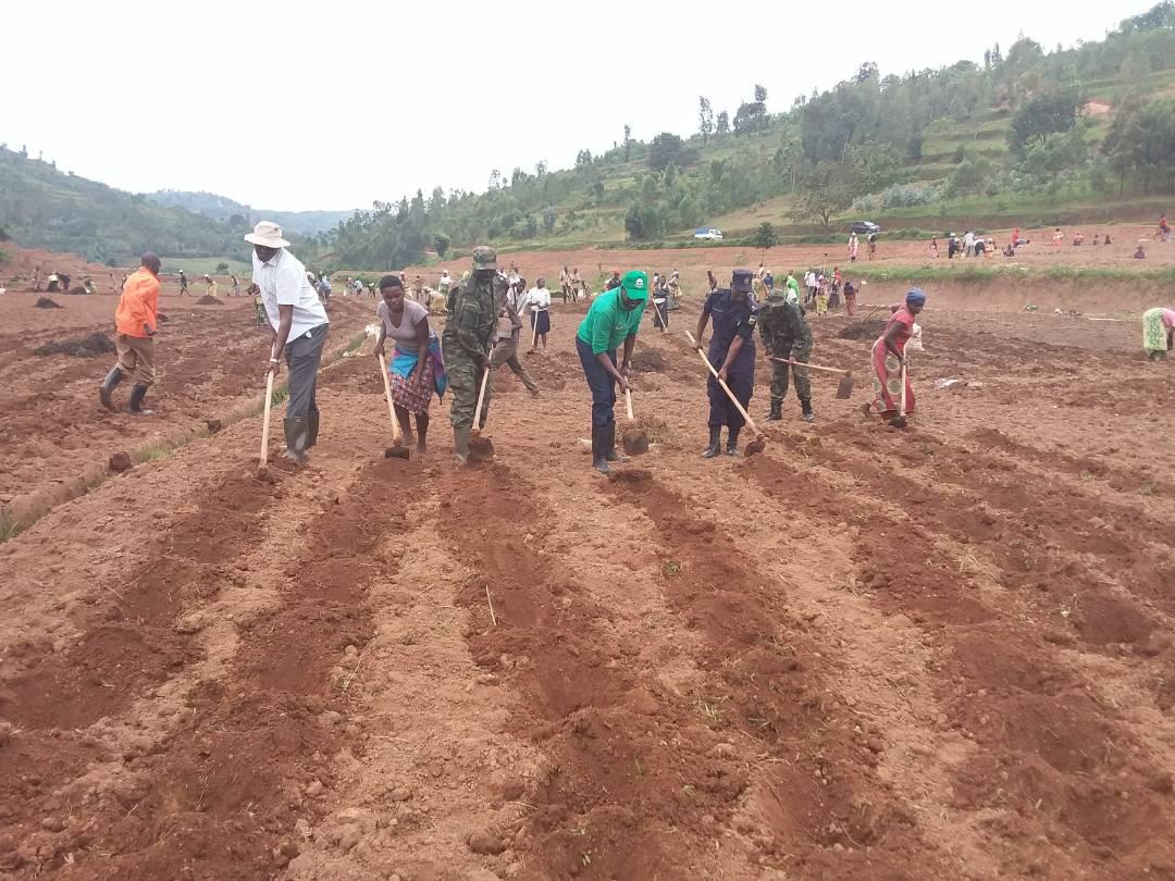 Nyaruguru: Locals plant the Irish potatoes in Agatobwe marshland
