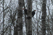 2018-02-04 Piliated Woodpeckers