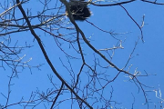 2018-02-18 a porcupine on the Green