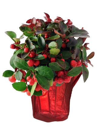 winterberry red shimmer holly berry gaultheria holiday