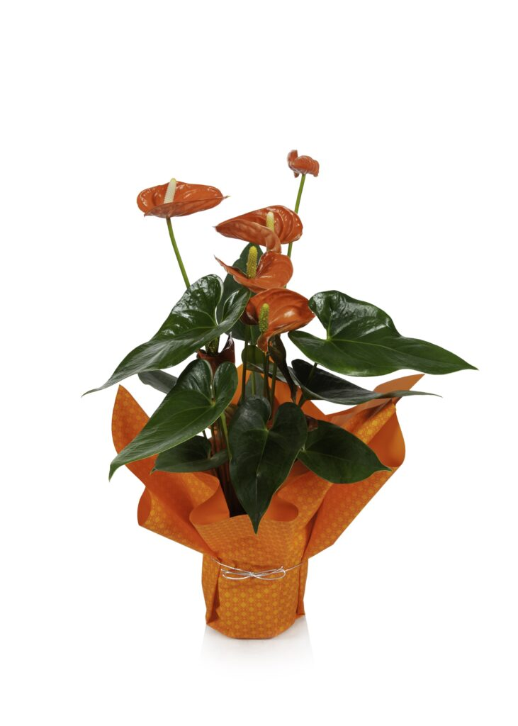 anthurium red orange mylar