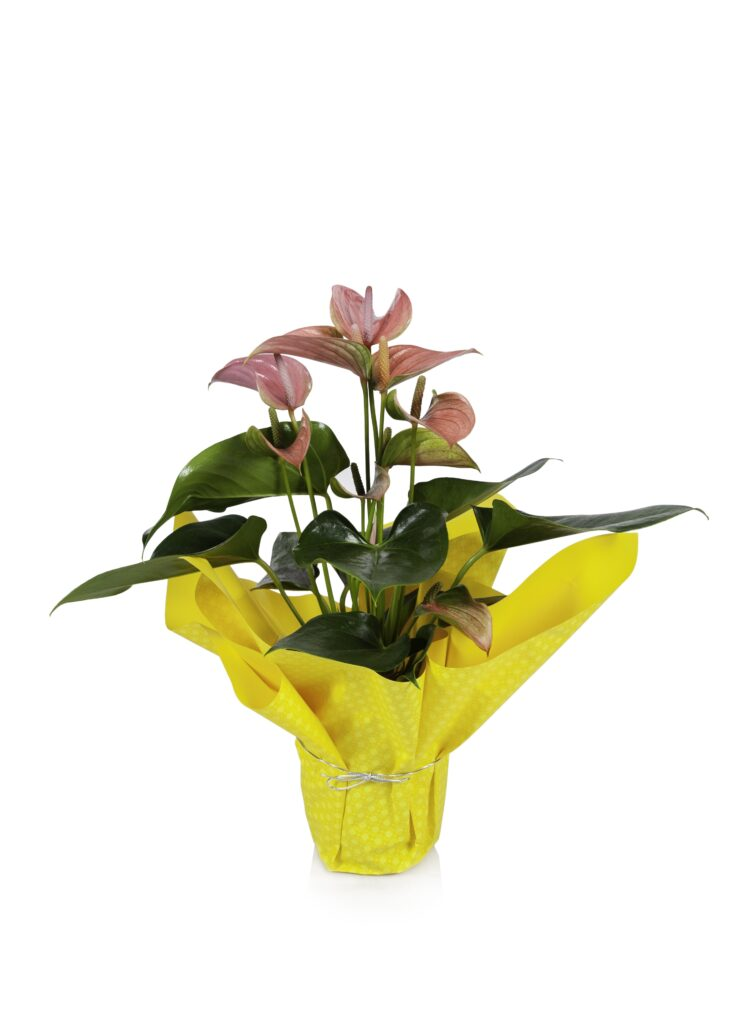 anthurium mylar pink yellow
