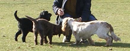 Packleaders dog walkers in Stevenage walking Pip and Dylan