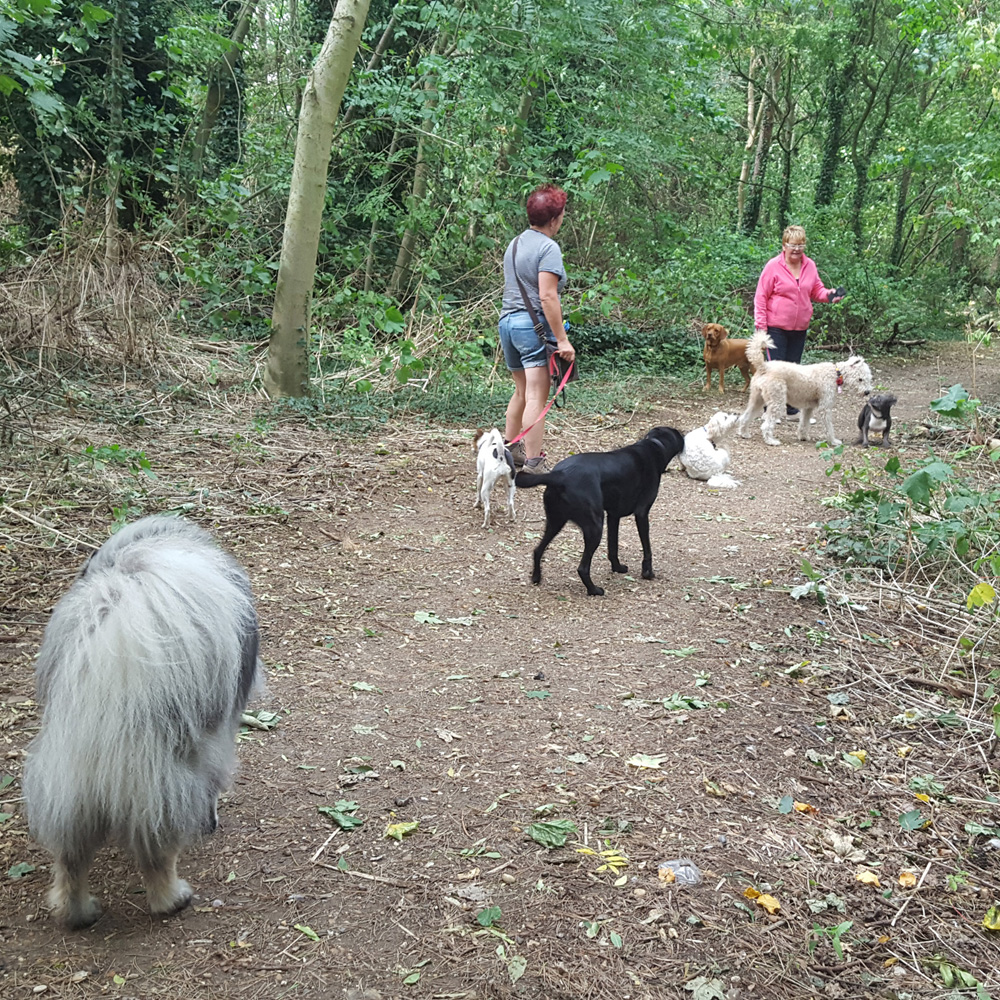 Dog walker Stevenage woods