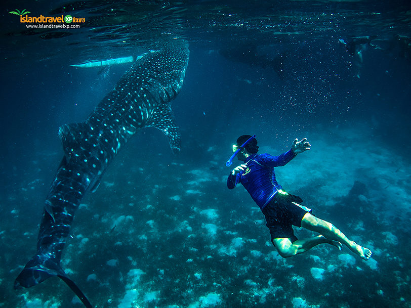 oslob-whaleshark-swimming
