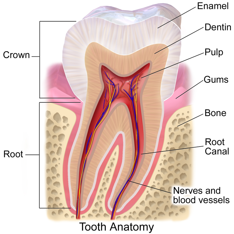Tooth Anatomy by Bruce Blaus
