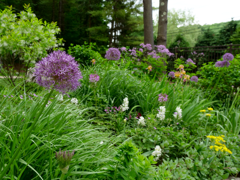 Late Spring Garden with Allium and Iris