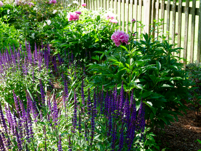 Late Spring Garden with Peony & Salvia