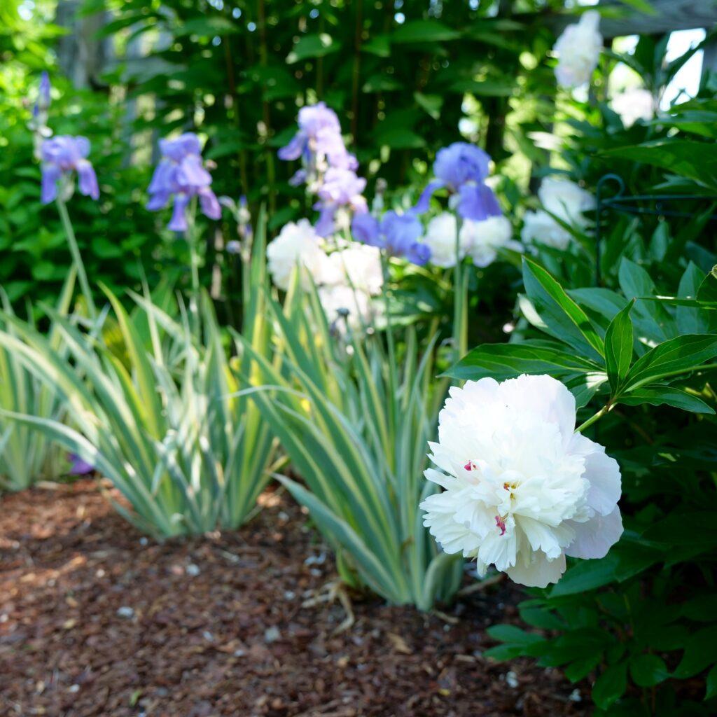 Late Spring Garden Featuring Iris & Peony