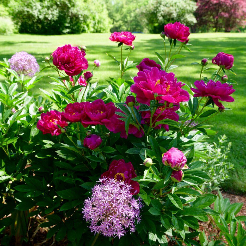 Peonies & Allium