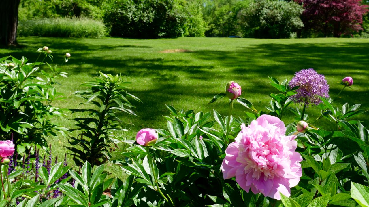 Peonies & Lawn