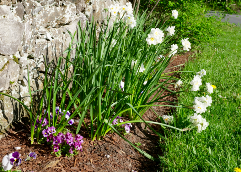 Early Spring Garden with Narcissus & Pansy
