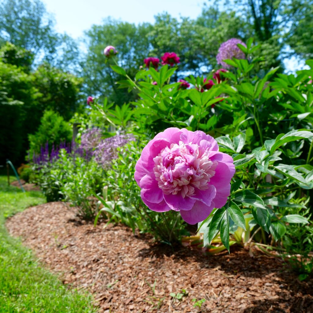Late Spring Garden with Mixed Peonies