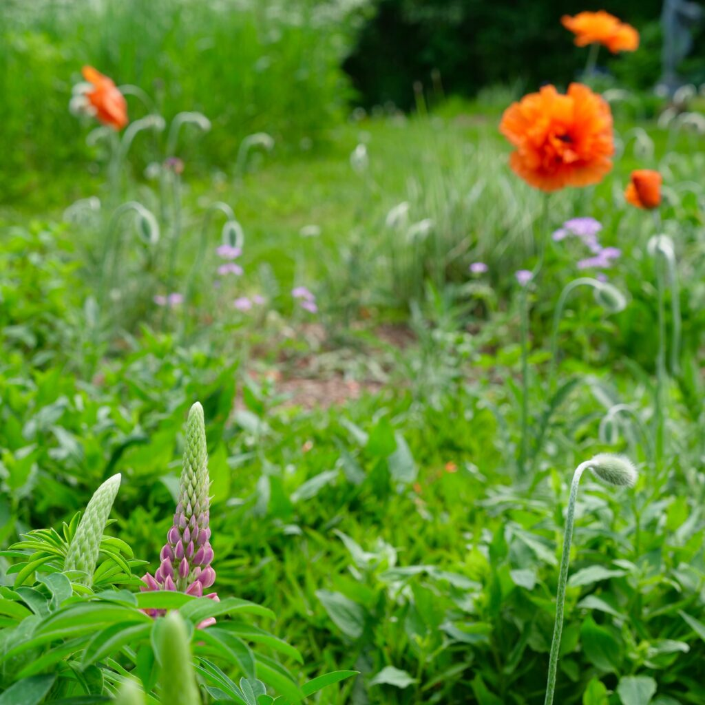 Field Garden with Poppies & Lupin
