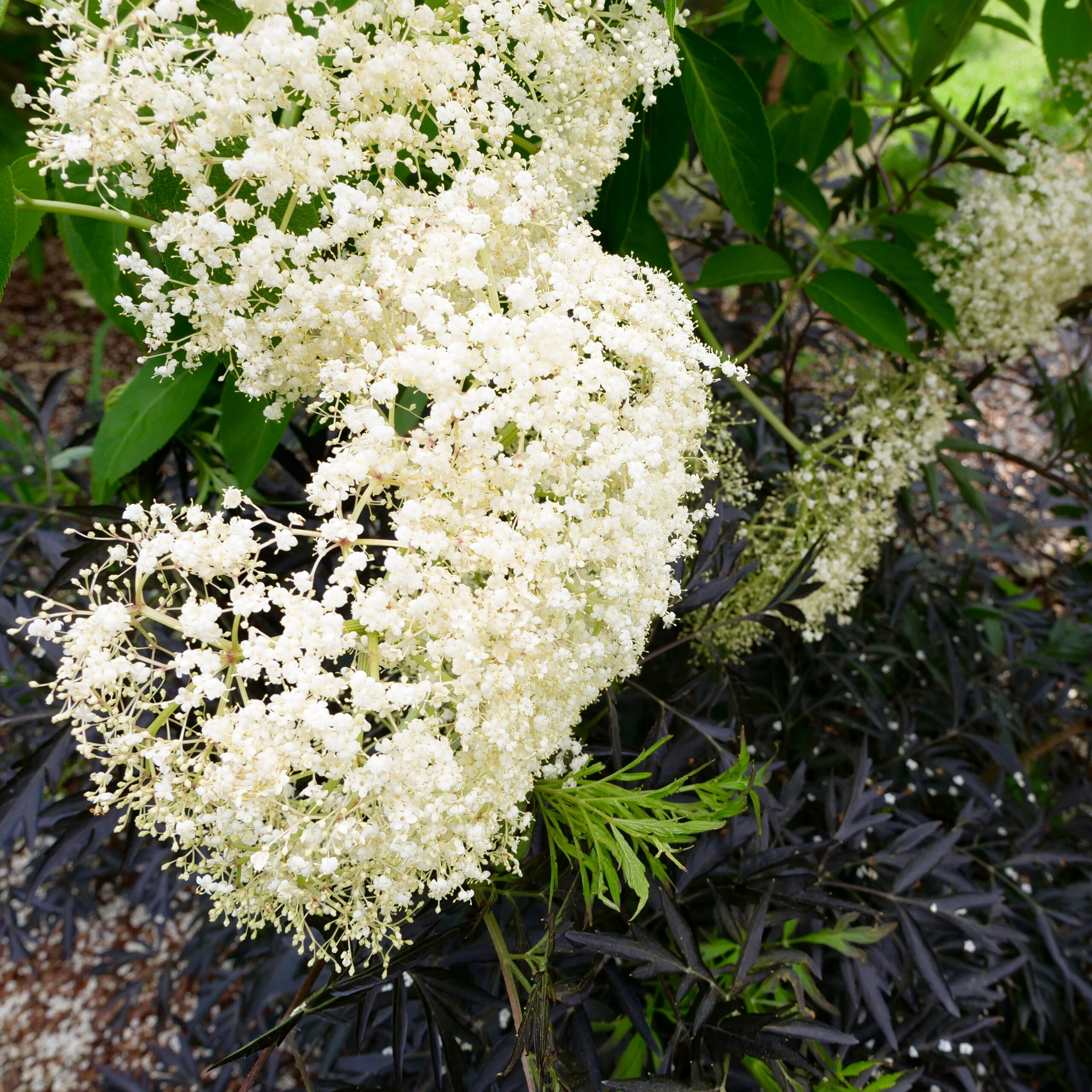 Read more about the article American Elderberry