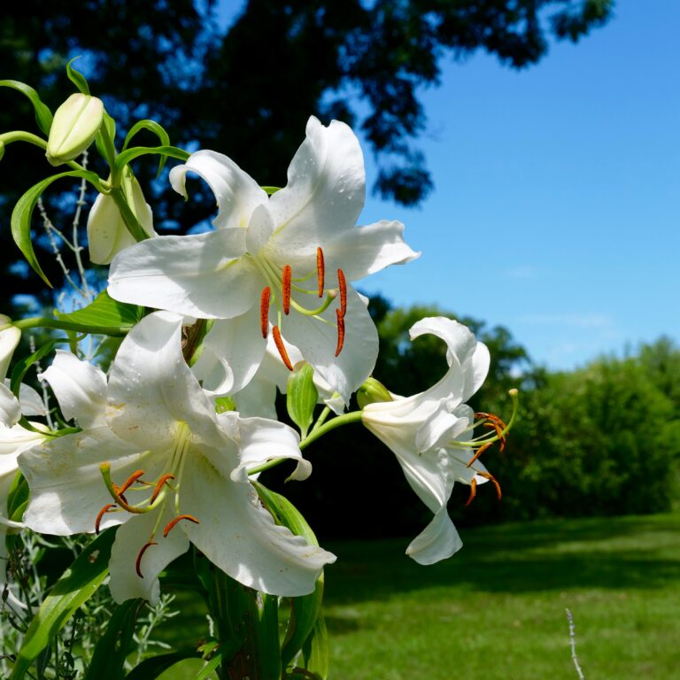 The Lilies of Summer