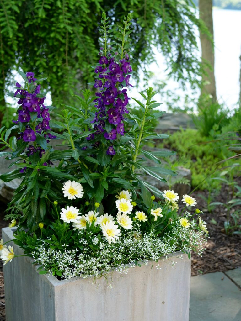 Summer Pot with Angelonia and Daisy