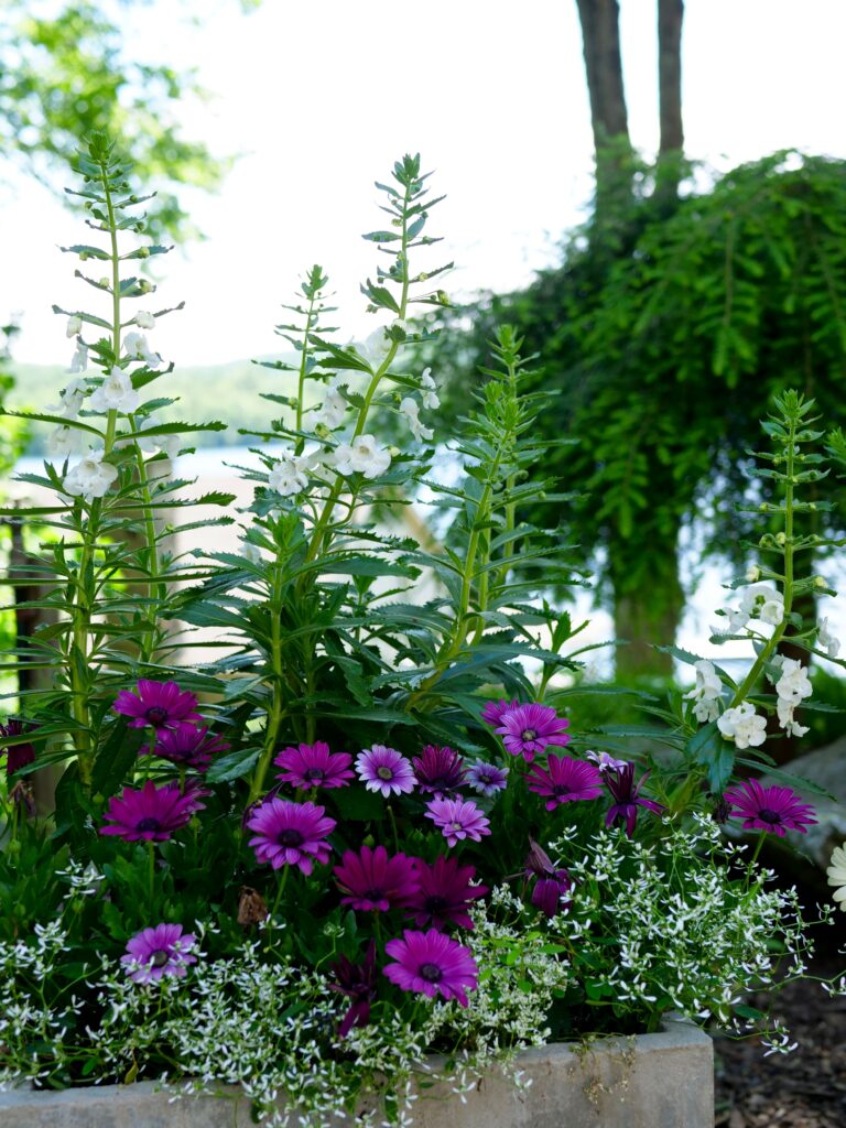 Summer Pot 2 with Angelonia and Daisy