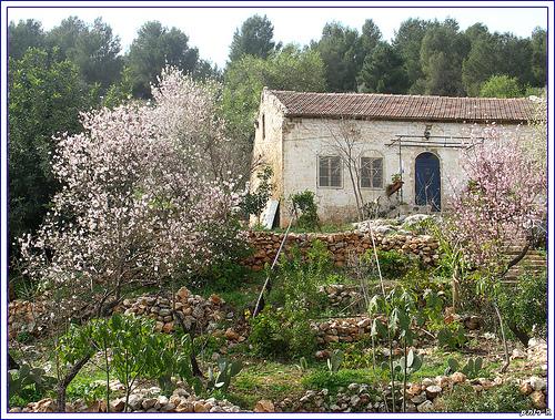 Rosh Pina Almond Blossoms