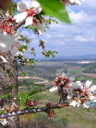 Zichron Flowers in Spring